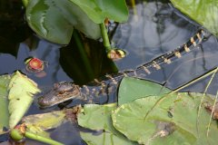 Baby Alligator In The Everglades